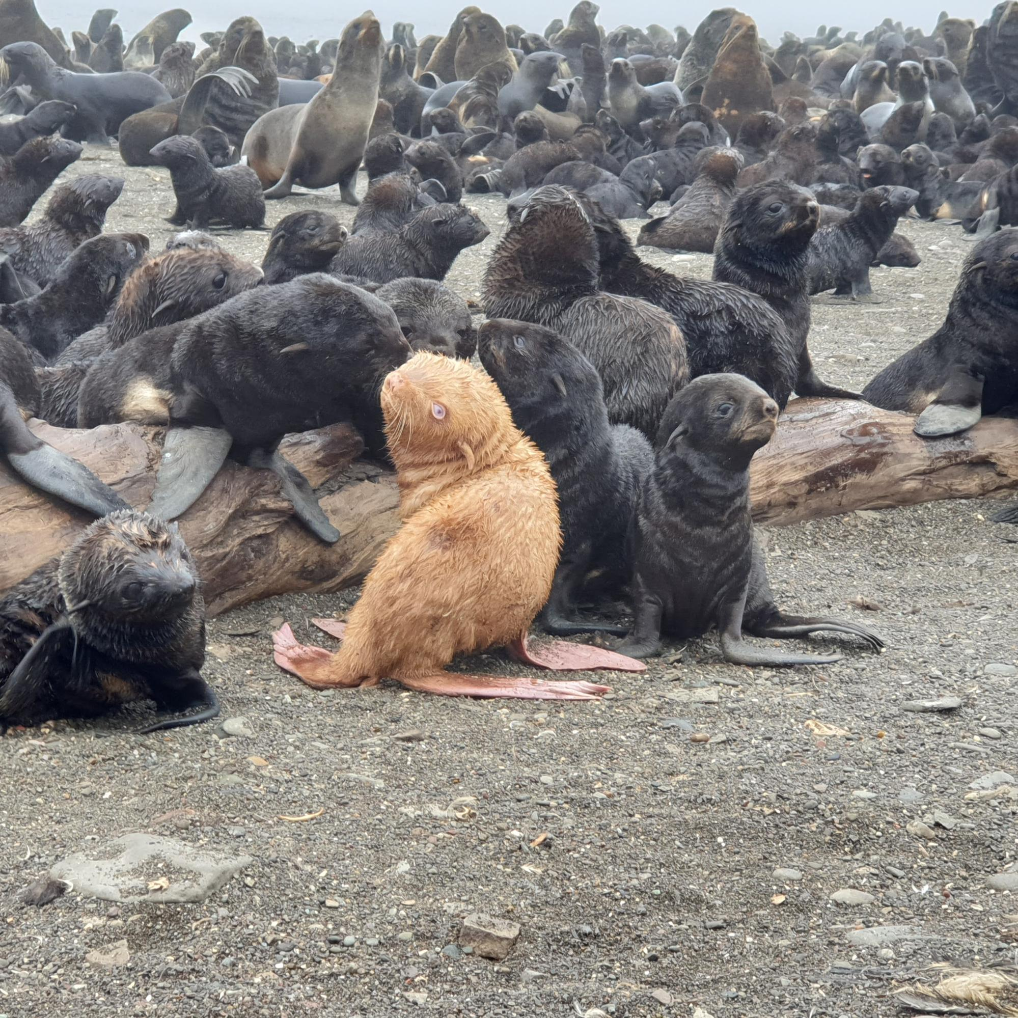 Photo of an albino fur seal pup on a beach with other fur seal pups and adults.