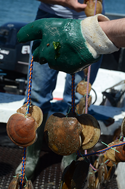 "A perons on a boat holds a longline with pairs of live scallops attached, demonstrating the ""ear hanging"" method for scallop grow out."
