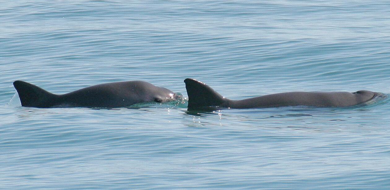 Two swimming vaquita