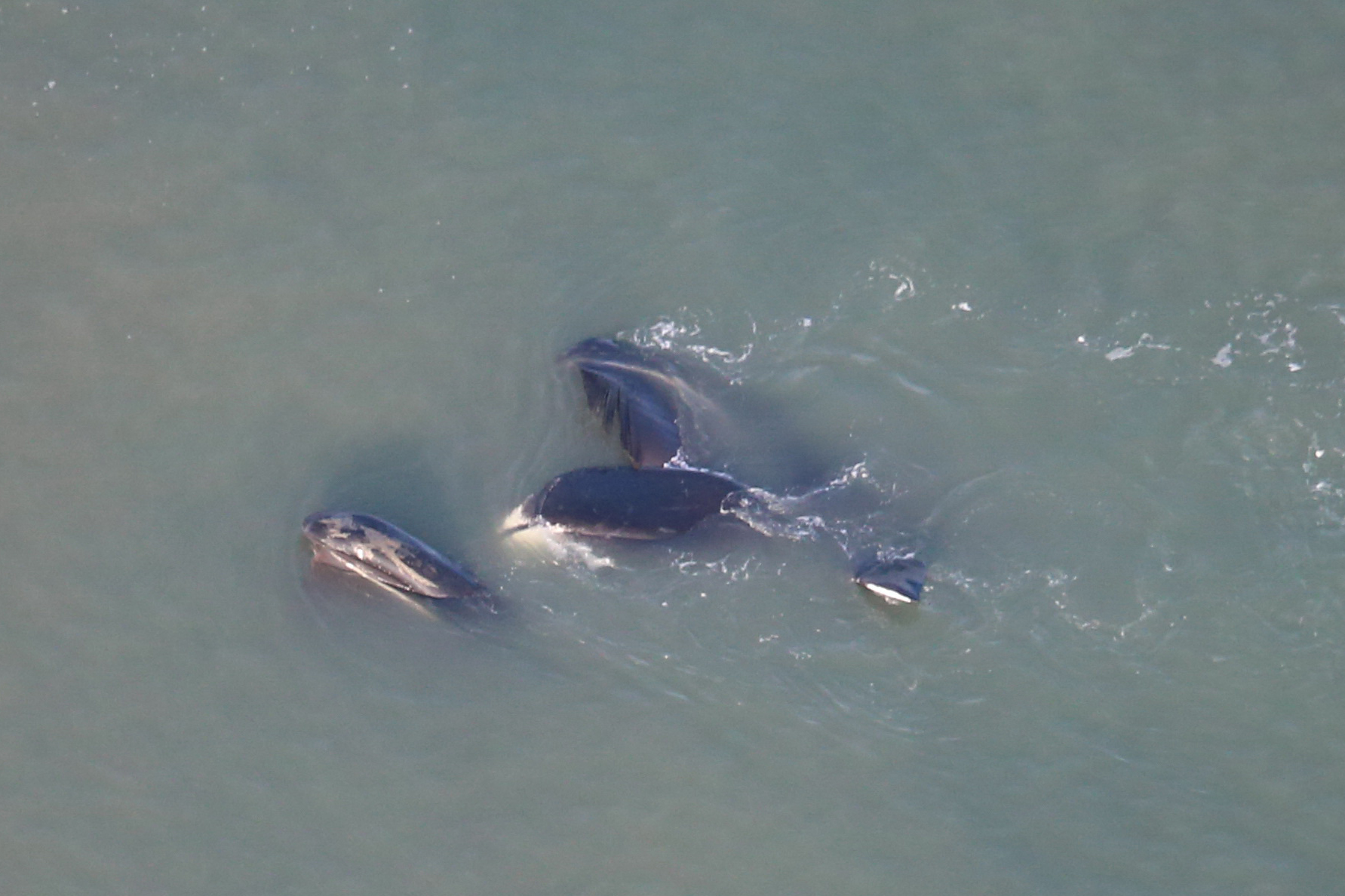 Aerial photo of several bowhead whales in Beaufort Sea.
