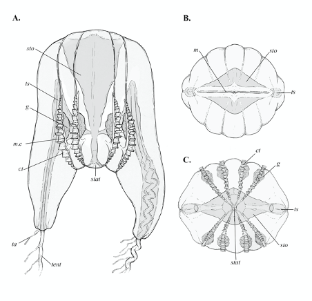 Anatomical illustrations showing morphological details of the newly discovered comb jelly.