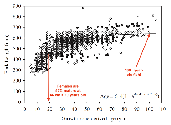 Figure 7 shows the age-length relationship for yelloweye rockfish with length on the y-axis and age on the x-axis. This relationship increases exponentially from approximately 280 mm and plateaus near 600 mm with ages beginning near 5 years old and attaining 50 to 60 years old near the plateau. Also highlighted is the average size-at-age for 50% maturity which occurs at approximately 46 cm or 19 years old and showing the upper range of longevity of Yelloweye rockfish at greater than 100 years old (reproduce