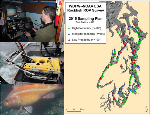 Figure 6 shows a four panel figure with WDFW biologist Bob Pacunski piloting the ROV on board the RV Molluscan in the upper left panel; WDFW's yellow Falcon ROV sitting on the back deck of the RV Molluscan prior to deployment in the middle left panel; an image of an adult yelloweye rockfish captured during an ROV survey with two green laser dots on the side of the fish measuring 10 cm between dots; and a map of PUget Sound with each of the 483 ROV survey stations plotted for the 2015 survey of Puget Sound P