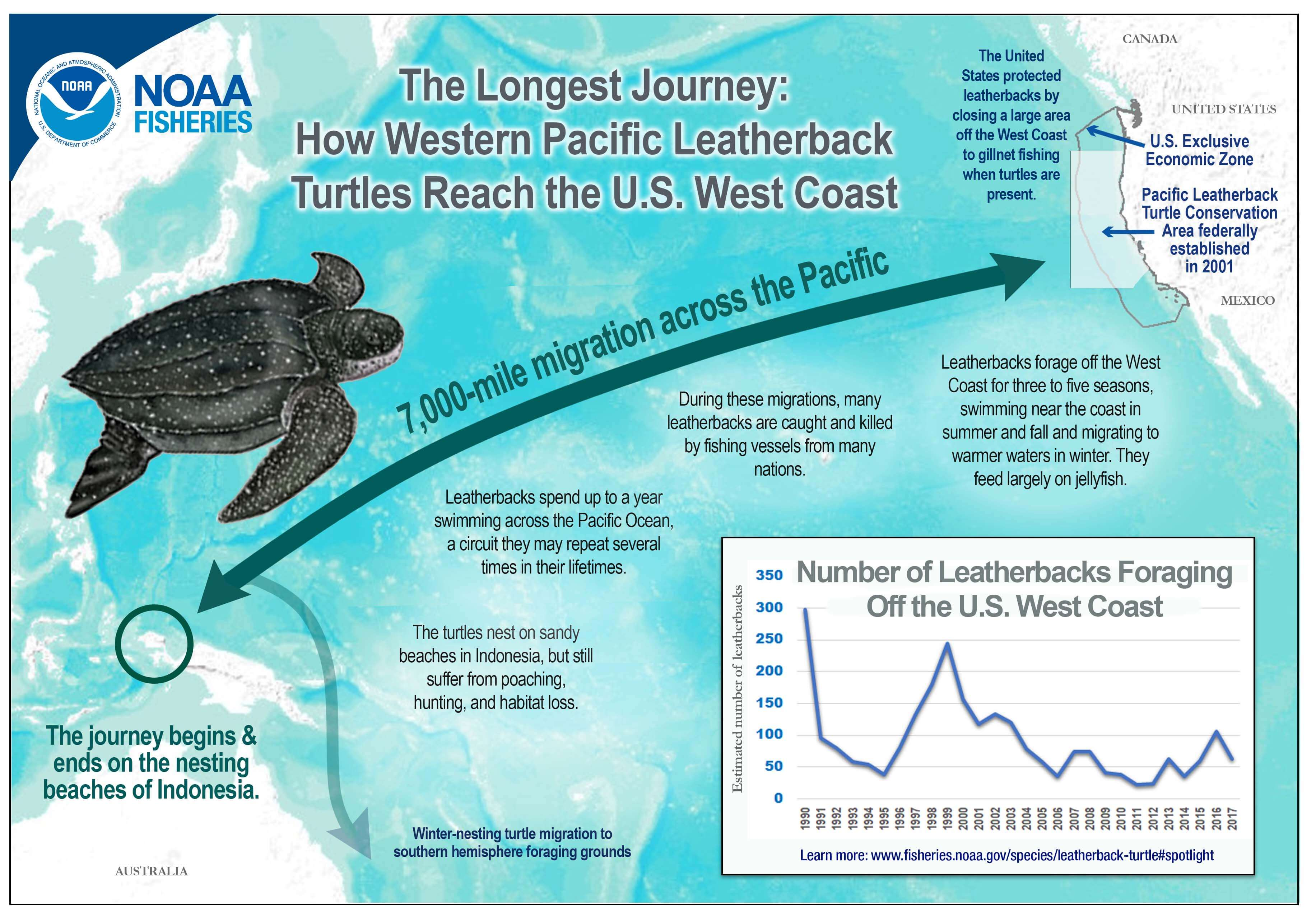 Infographic explaining the Leatherback turtle's 7,000 mile migration across the Pacific