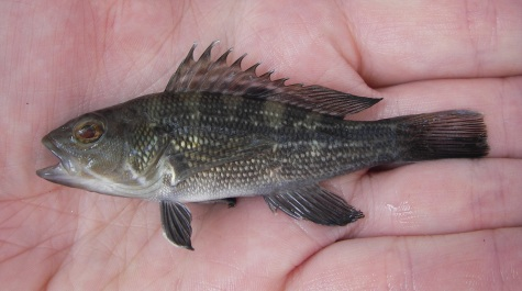 A juvenile fish is held in a scientists hand. The small fish is black with lighter countershading and an elongated dorsal fin with several points.