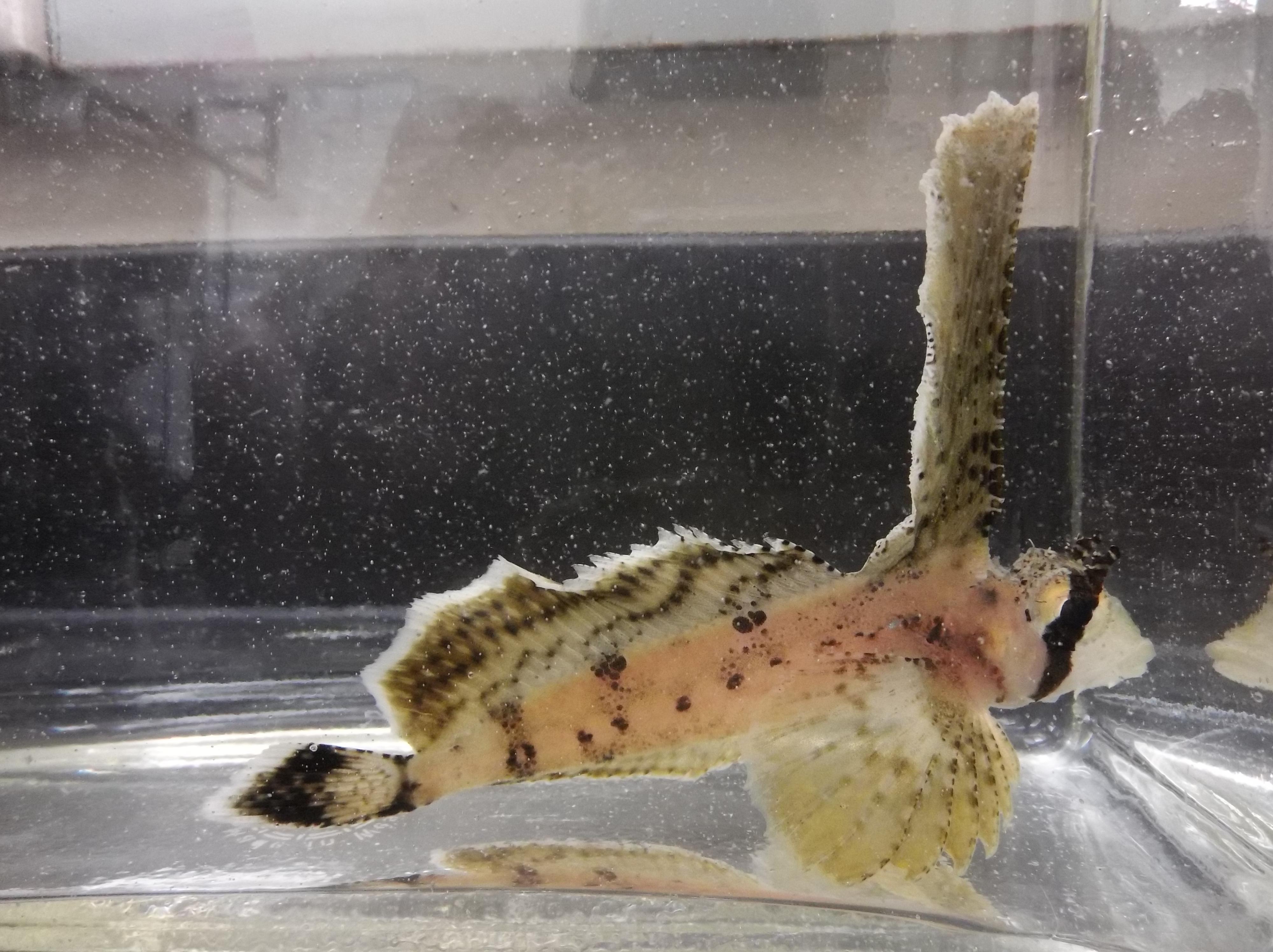 Photo of a sailfin sculpin at the Kodiak lab aquarium.