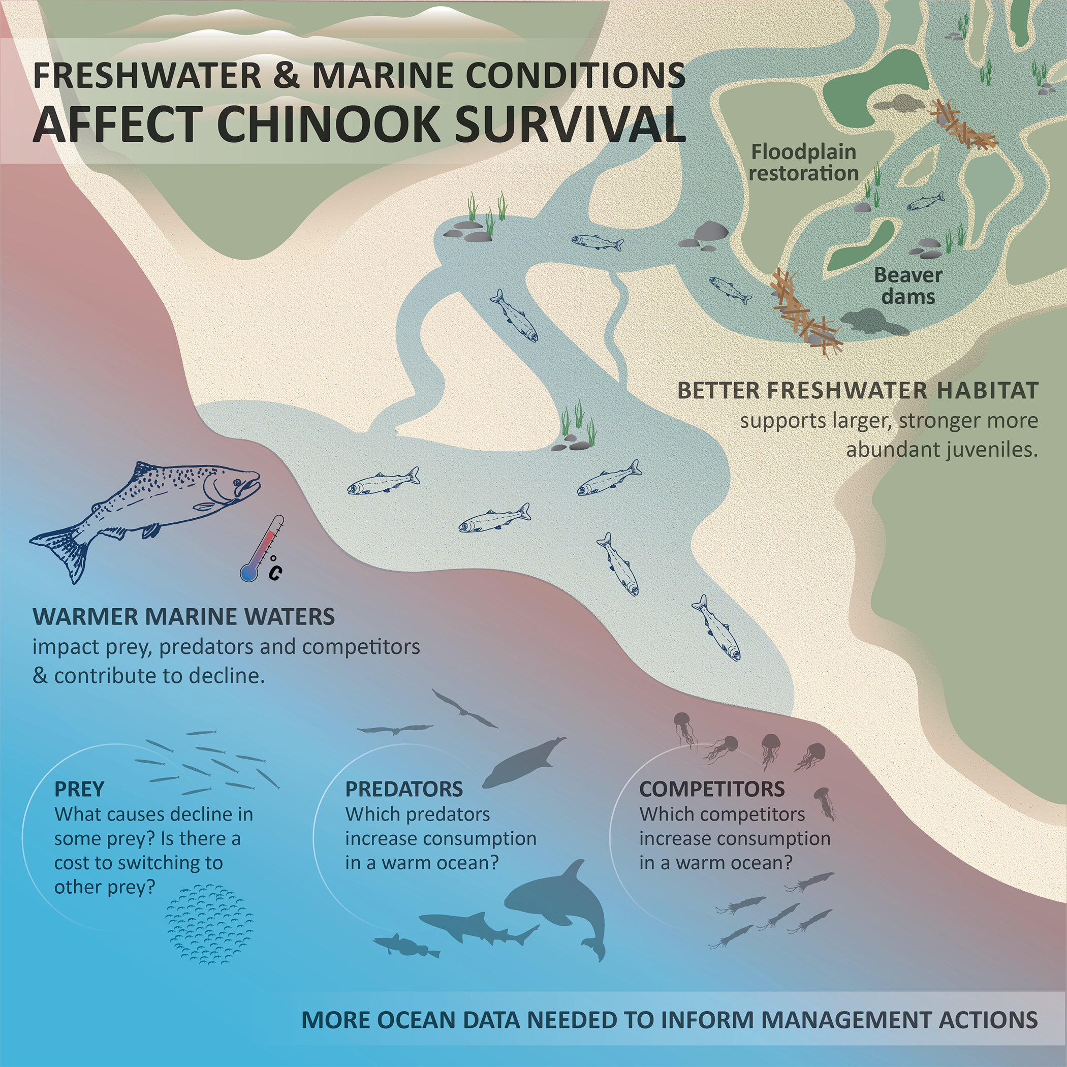 Better habitat, like beaver dams and restored floodplains, may be able to help Chinook survival in face of declines in prey, increase in predators, and increase in competitors.