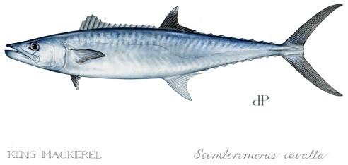 Image of a king mackerel fish