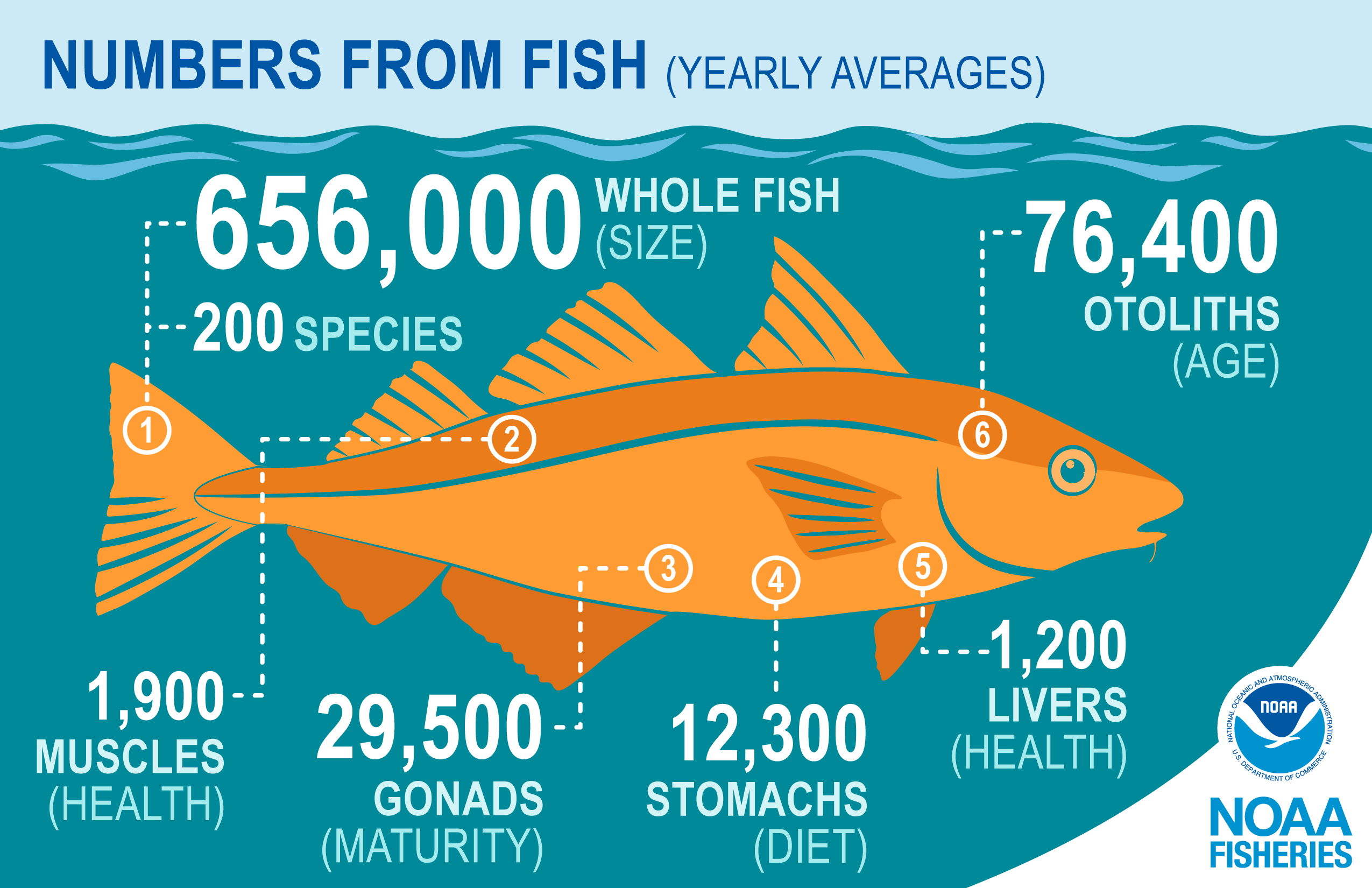 The infographic shows the average total numbers collected annually for different fish parts connected by dotted white lines to the approximate area where the parts are located on an orange haddock illustration with a dark aqua blue background and lighter blue waves.
