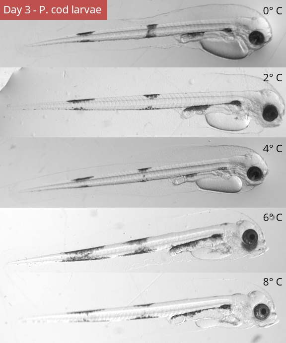 Five photos of Pacific Cod larva siblings under different controlled temperature settings.