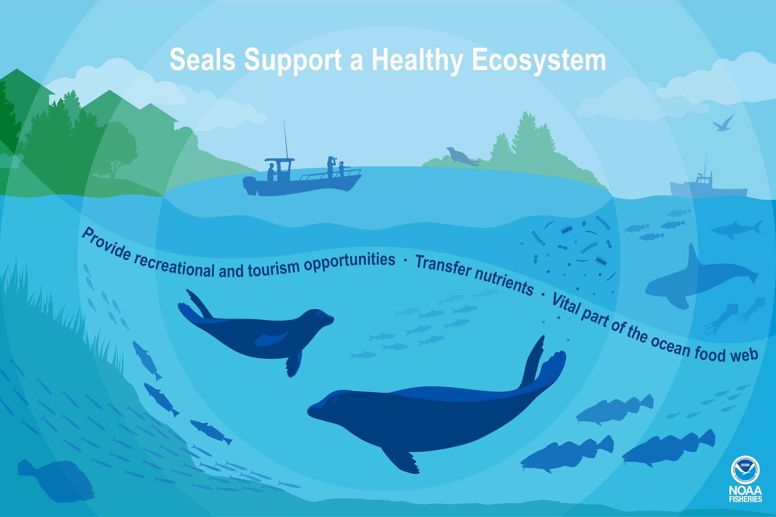 A larger harbor seal and a smaller gray seal swim at the center of a circular illustration of an ecosystem to portray the vital role that seals play in supporting the food web and enhancing biodiversity. The illustration shows a tour boat with visitors viewing a seal in the distance to represent how seals provide recreational and tourism opportunities. The harbor seal chases a school of sand lances and small hake on the left, to show how seals consume a diverse diet of mostly small fish.