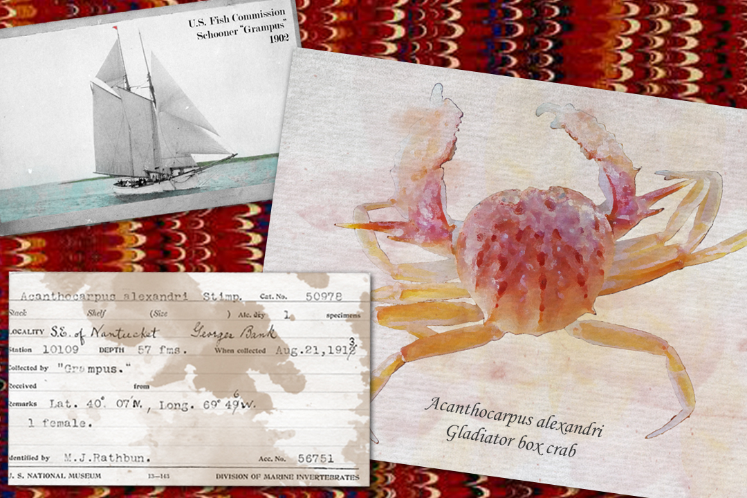 "Collage graphic of U.S. Fish Commission vessel ""Grampus,"" Smithsonian Institution specimen identification card, digital watercolor of a gladiator box crab."