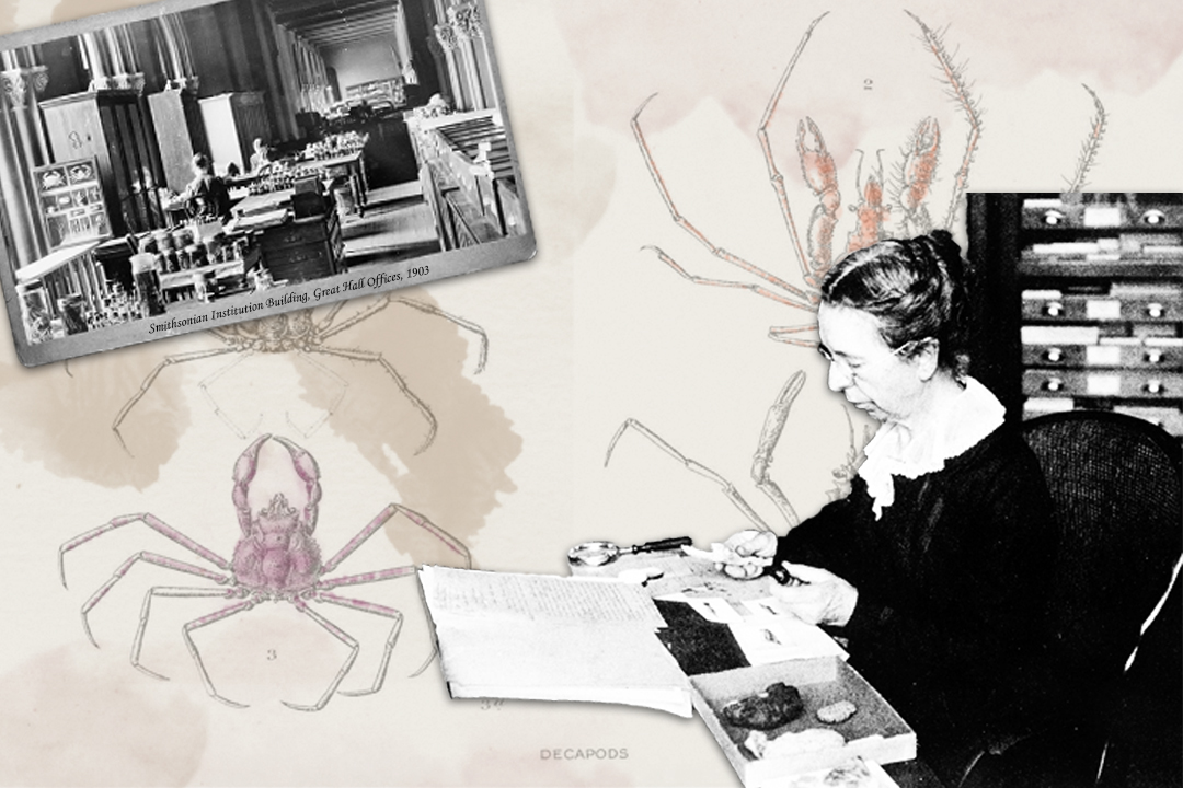 Collage graphic of crab illustration page from a Mary Jane Rathbun publication, image of Mary Jane Rathbun working in the Smithsonian Institution's Great Hall, image of Mary Jane Rathbun at a desk looking at some fossils.
