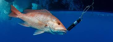 A red snapper is released into the water with a descending device attached to its mouth.
