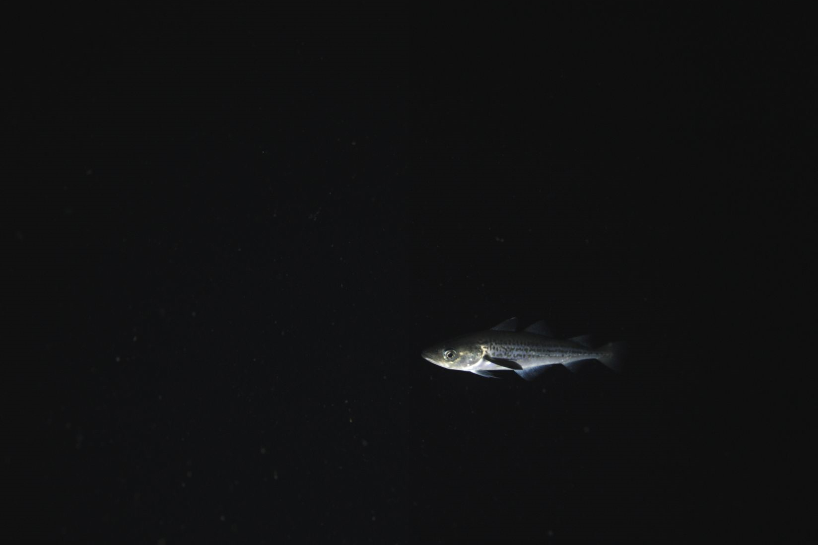 Underwater photo of a single Alaska pollock in dark water.
