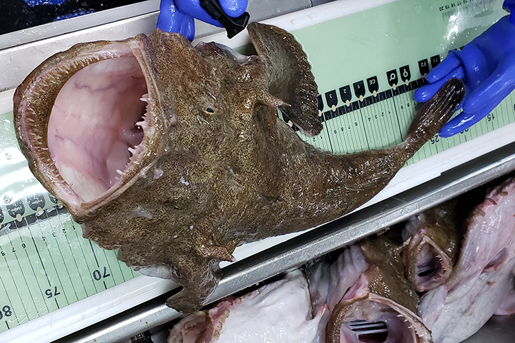 Goosfish with open mouth on measuring board.