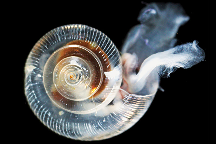 Plankton snail, tranlucent shell.