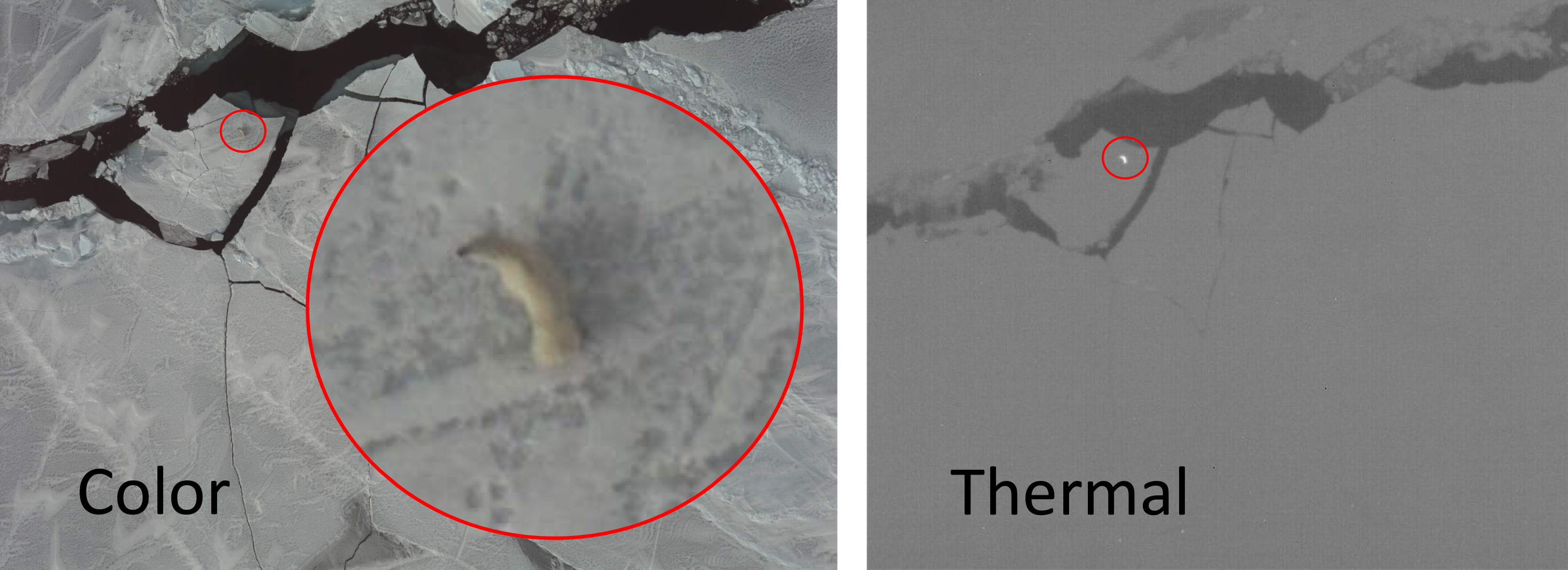 Aerial photograph and infrared imagery of a polar bear on ice floes shown side by side.