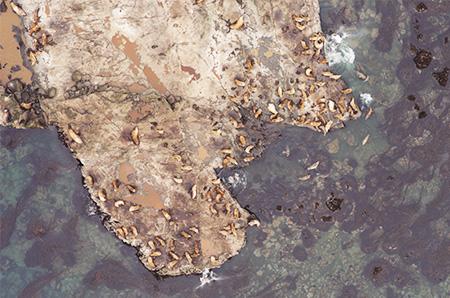 Aerial photo of Steller sea lions on coastal rocks.