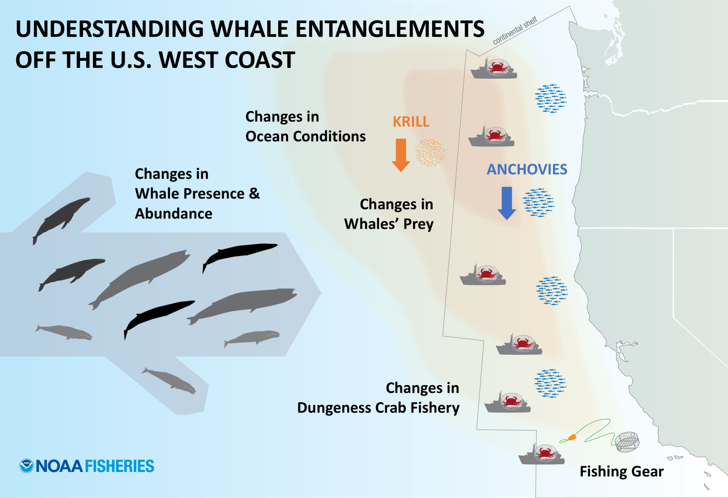 Graphic showing changes in ocean conditions, whale presence and abundance, krill and anchovy availability, fishing gear and crab fishery all interacted on the West Coast.