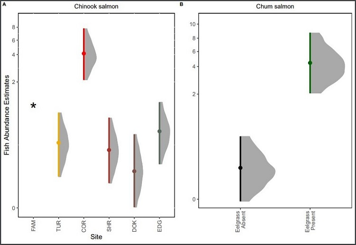 A) Effects of survey site on the abundance of Chinook salmon. B) Effects of Eelgrass presence on the abundance of chum salmon  in nearshore habitats with and without eelgrass. We plot the natural log posterior distribution of model estimates for fish abundances, however we transform the y-axis labels to integers to facilitate interpretation (note: scales on the y axes are different). Points are posterior estimate means, lines and gray density distributions represent an 89% high density interval (HDI) poster