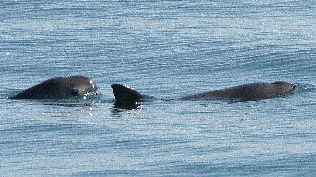 Mexican vaquita at sea