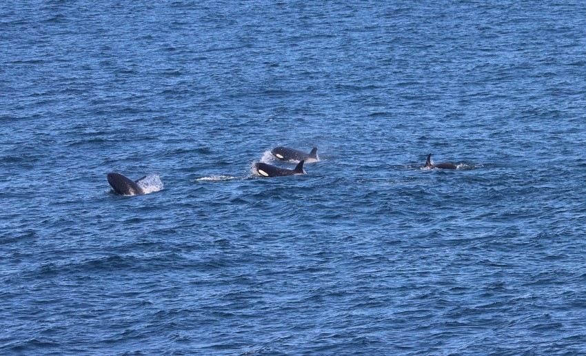 Killer whales traveling alongside the Bell M. Shimada, putting on a show for the NCC science team and ship crew. Credit: Dawn Barlow