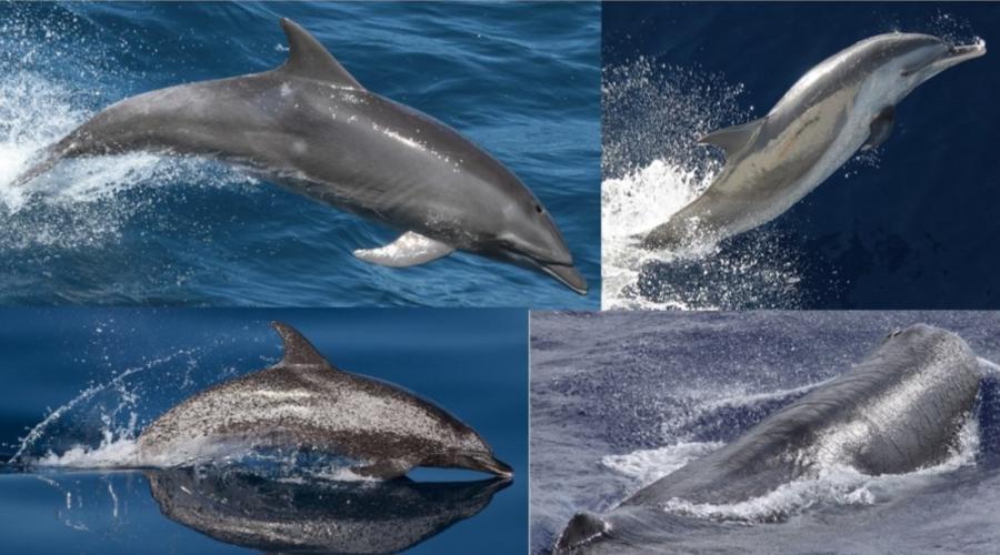 Marine mammals commonly seen on Southeast U.S. surveys.