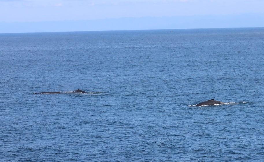 A group of humpbacks traveling along the humpback highway. Credit: Dawn Barlow.