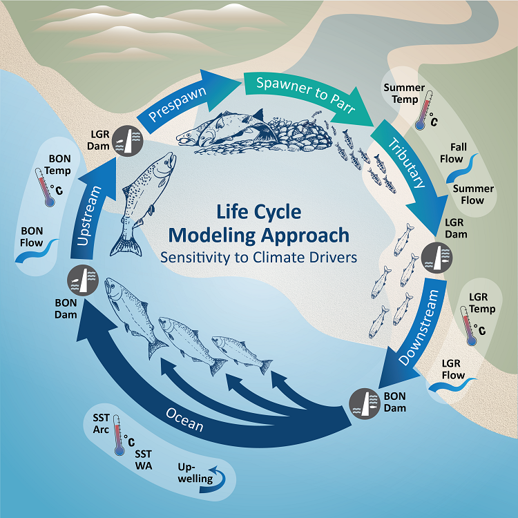 a circle with arrows showing the life cycle of salmon and which life stage is susceptible to climate drivers such as summer temperatures, upwellings, dams, and river flow