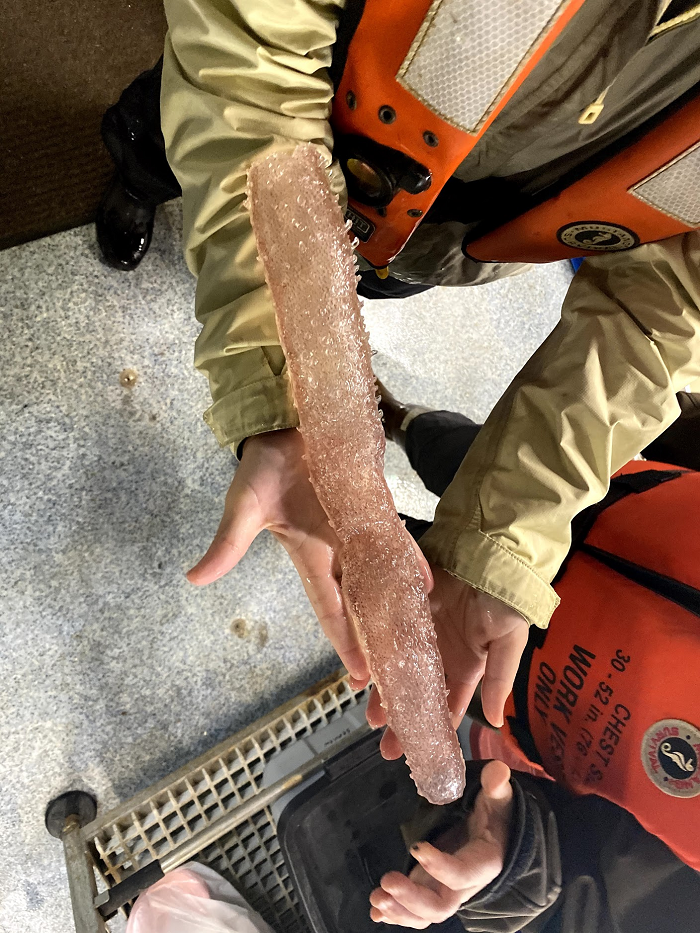 A large pyrosome caught on the Northern CA Current Survey. Photo courtesy of Becky Smoak.