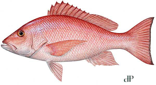 image of a red snapper