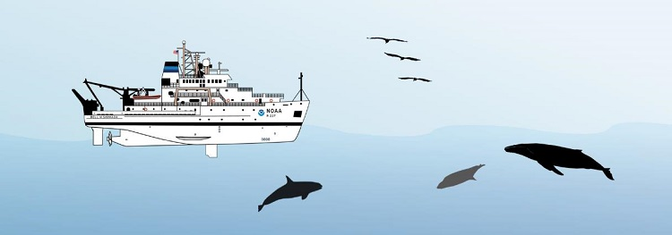 Diagram of the Bell M. Shimada with an observer depicted on the flying bridge looking for seabirds and marine mammals, including dolphins, pinnipeds, and baleen whales. Credit: NOAA Fisheries/Su Kim.