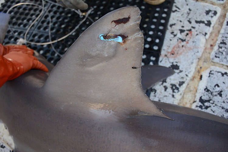Top (dorsal) fin of a female sandbar shark with a previously placed tag from a different survey clearly visible on the fin. The tag is light-blue plastic with a tag number on it.
