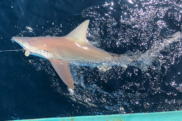 A sand bar shark caught on a longline hook swimming alongside a vessel. The shark has large top (dorsal) and side (pectoral) fins and is light brown on top with a lighter-colored belly. The shark's eye and gills are clearly visible.