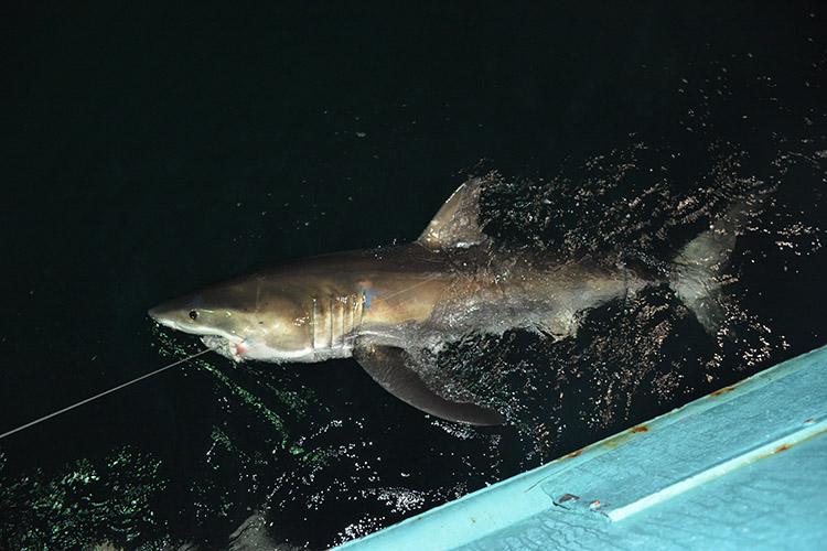 A white shark caught on a longline hook swimming alongside a vessel. The shark has large top (doral) and side (pectoral) fins, and is a light brown color on top with a light-colored belly. The shark's sharply pointed nose, dark eye, and gills are clearly visible.