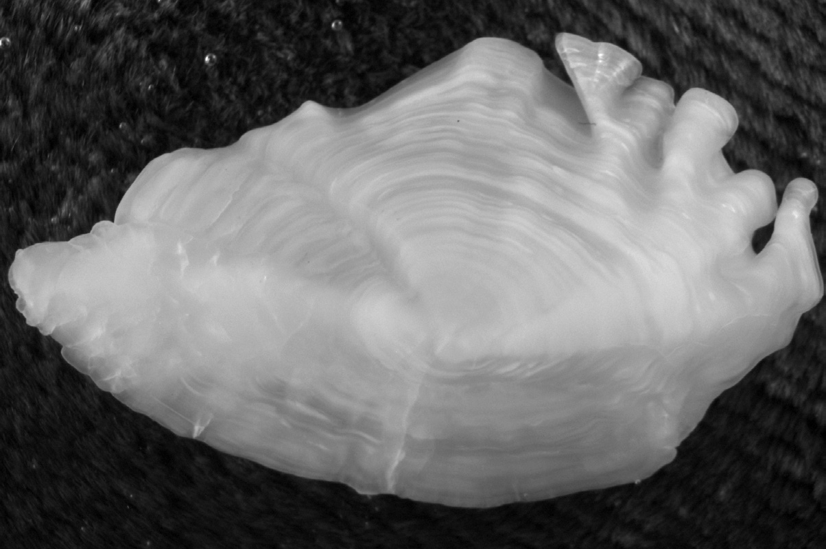 A black and white photo of a fish otolith.