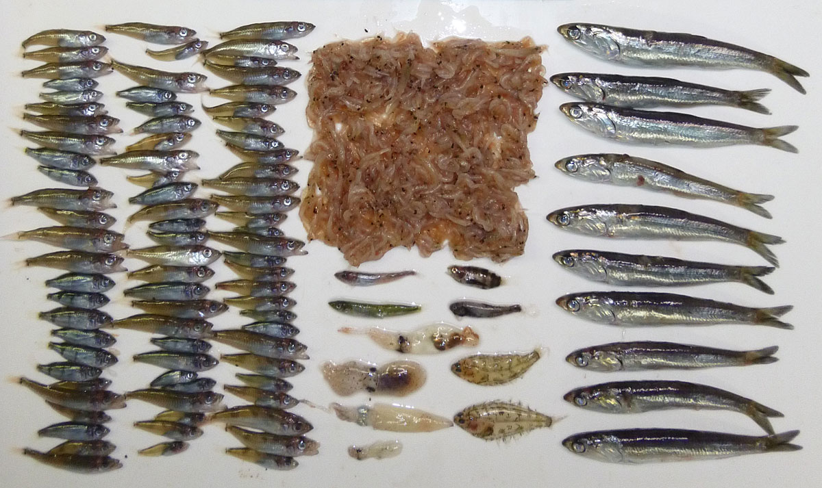 Stomach contents of Pacific salmon in the 1980s