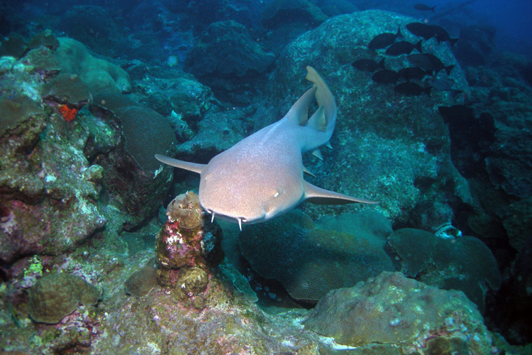 Nurse shark swimming over coral reef.