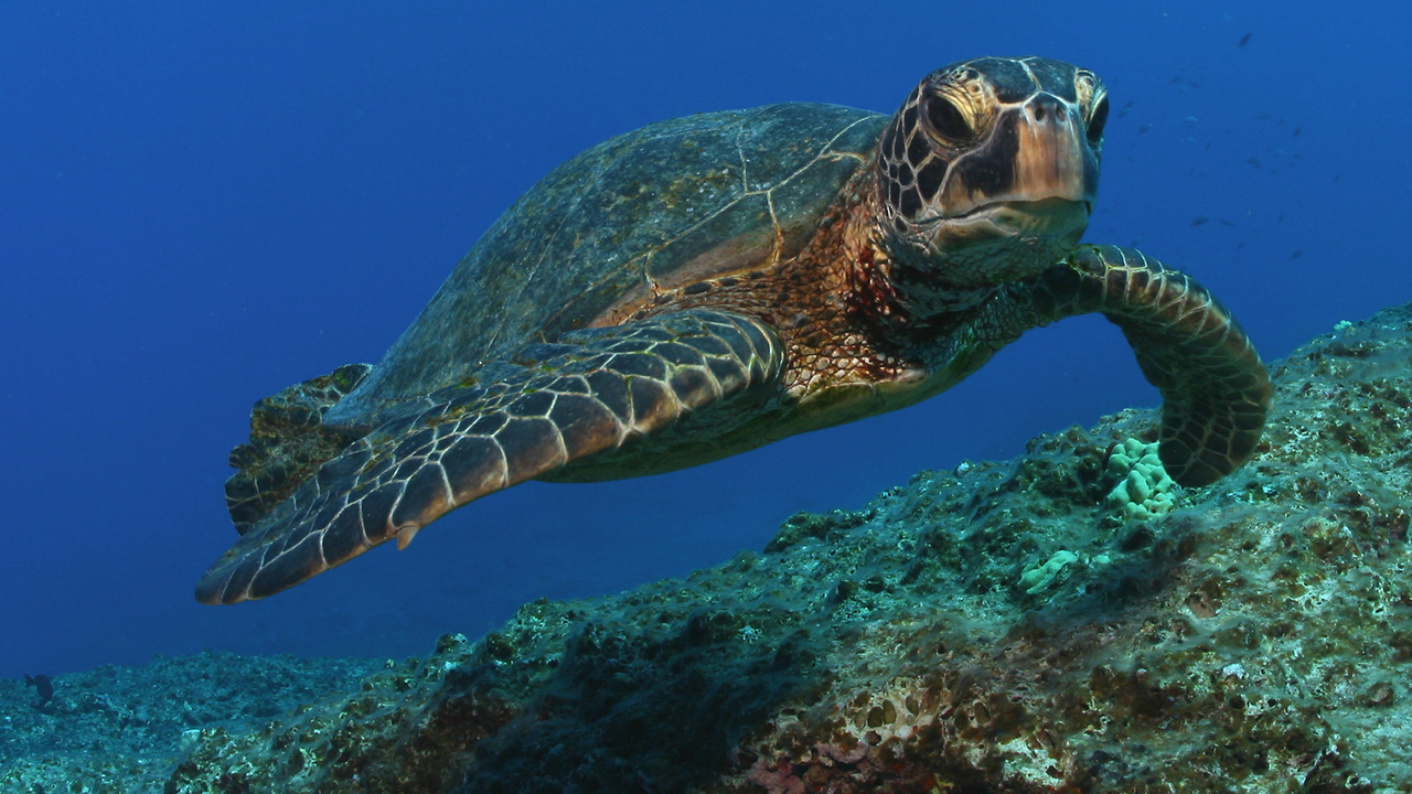 1920x1080-green-turtle-NOAA-OfficeofMarineNationalSanctuaries.jpg