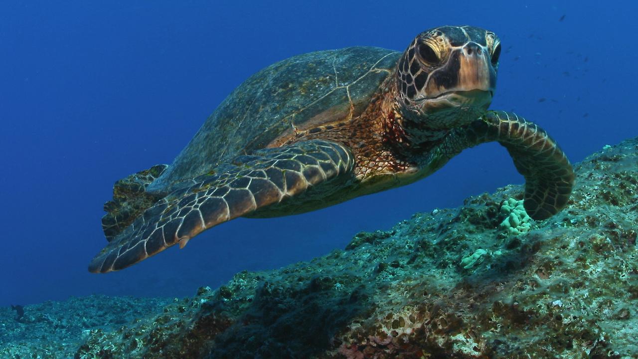 1920x1080-green-turtle-NOAA-OfficeofMarineNationalSanctuaries.jpg