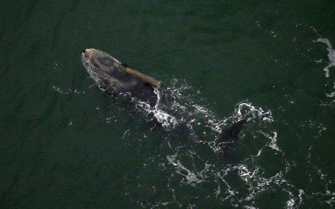 ASAMM Marine Mammal Aerial Survey