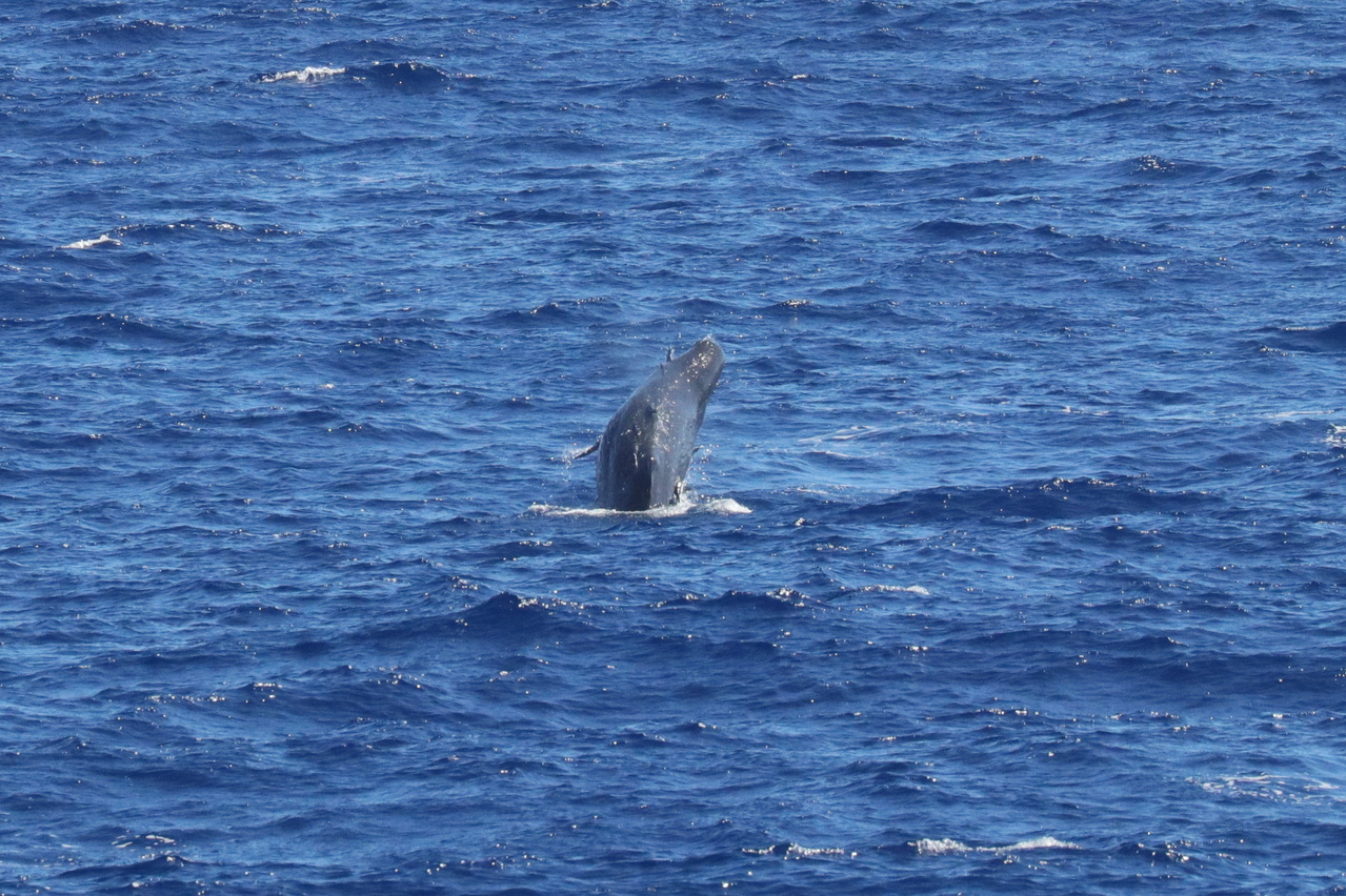A sperm whale calf breaches, showing us it has several remoras on its body. Calves often appear to have more remoras than adults, maybe because they cannot dive as deep as adults. This calf may be attempting to dislodge the remoras. Photo: NOAA Fisheries/Andrea Bendlin.