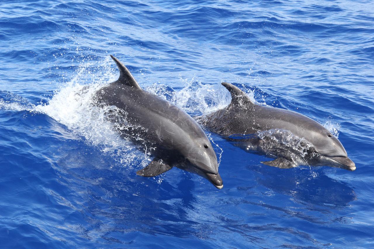 pair_of_bottlenose_dolphins.jpg
