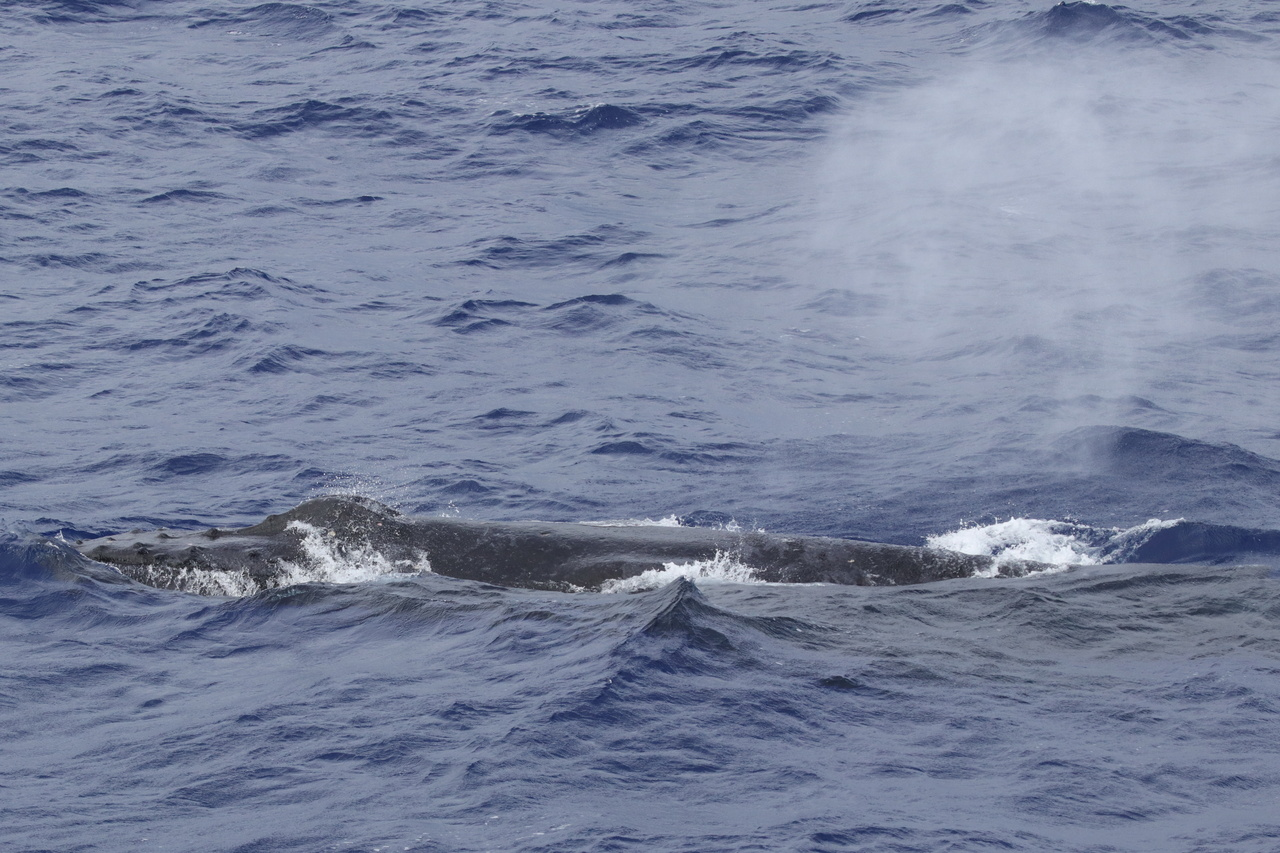 Humpback whales remain one of our most commonly sighted species, making up over 50% of our sightings so far. Photo: NOAA Fisheries/Marie Hill.
