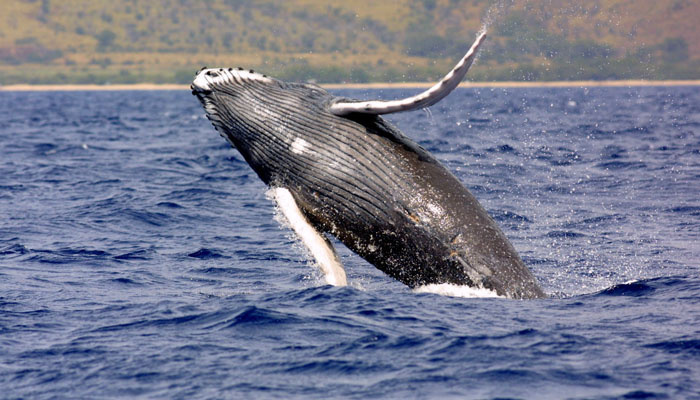 10facts-humpback-whale.jpg