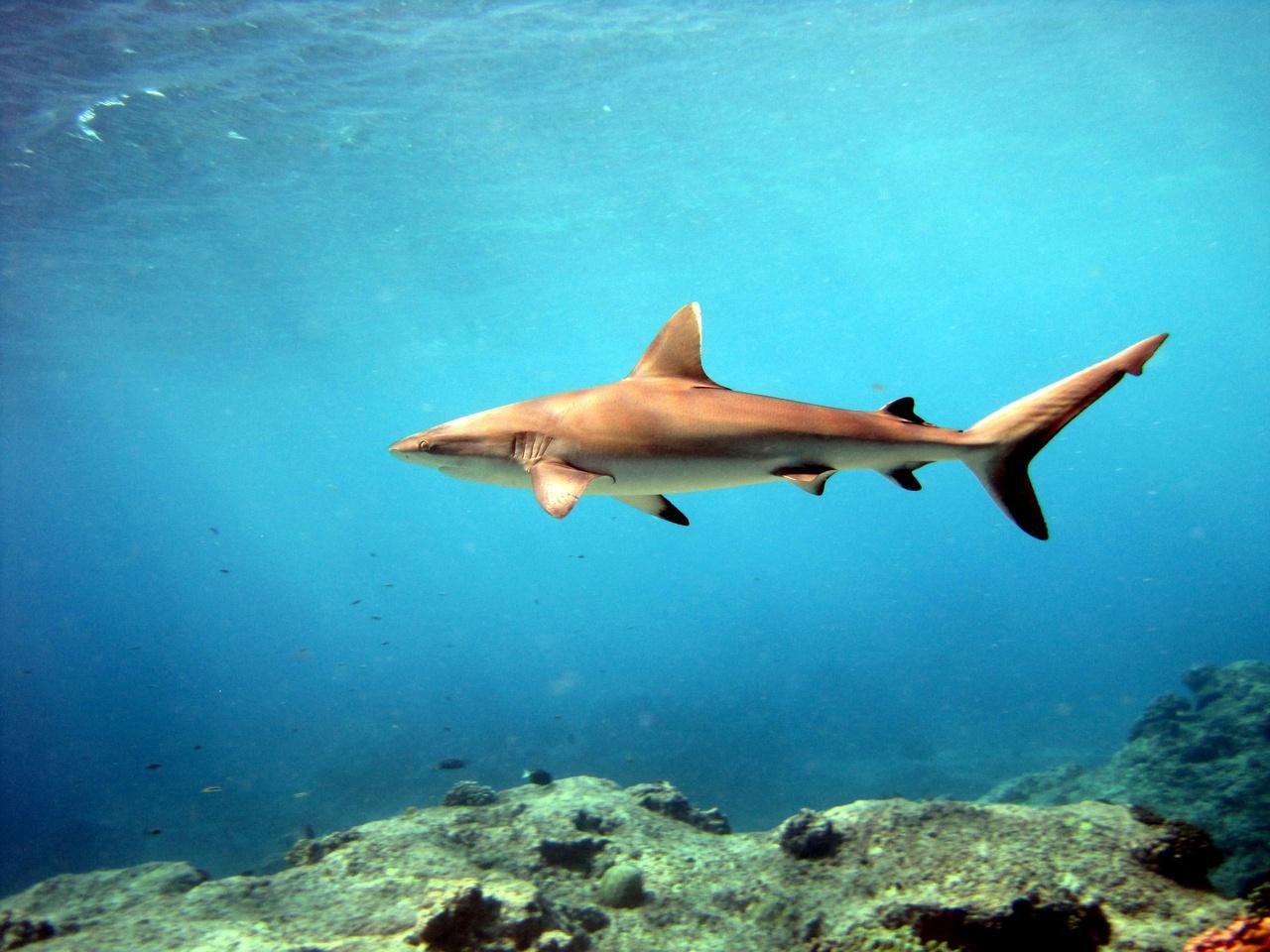 3648x2736-grey-reef-shark-pacific-islands.jpg