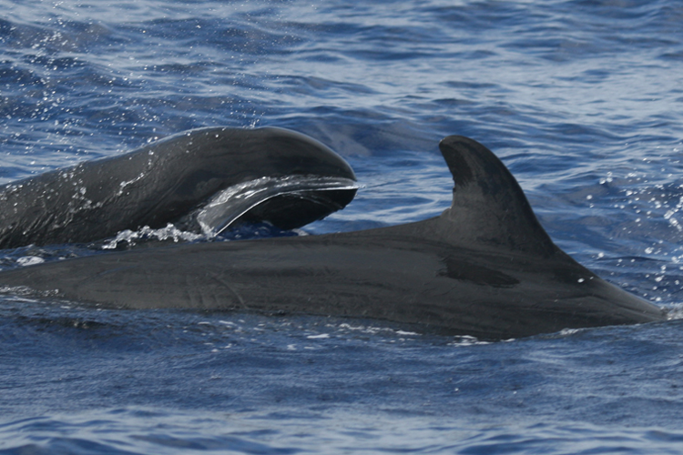 Two false killer whales swimming, with a view of one dorsal fin.