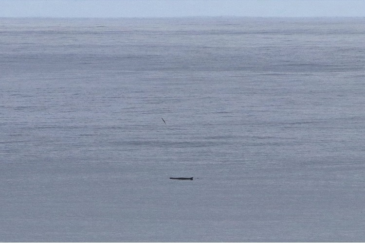 A pygmy sperm whale seen swimming at a distance.