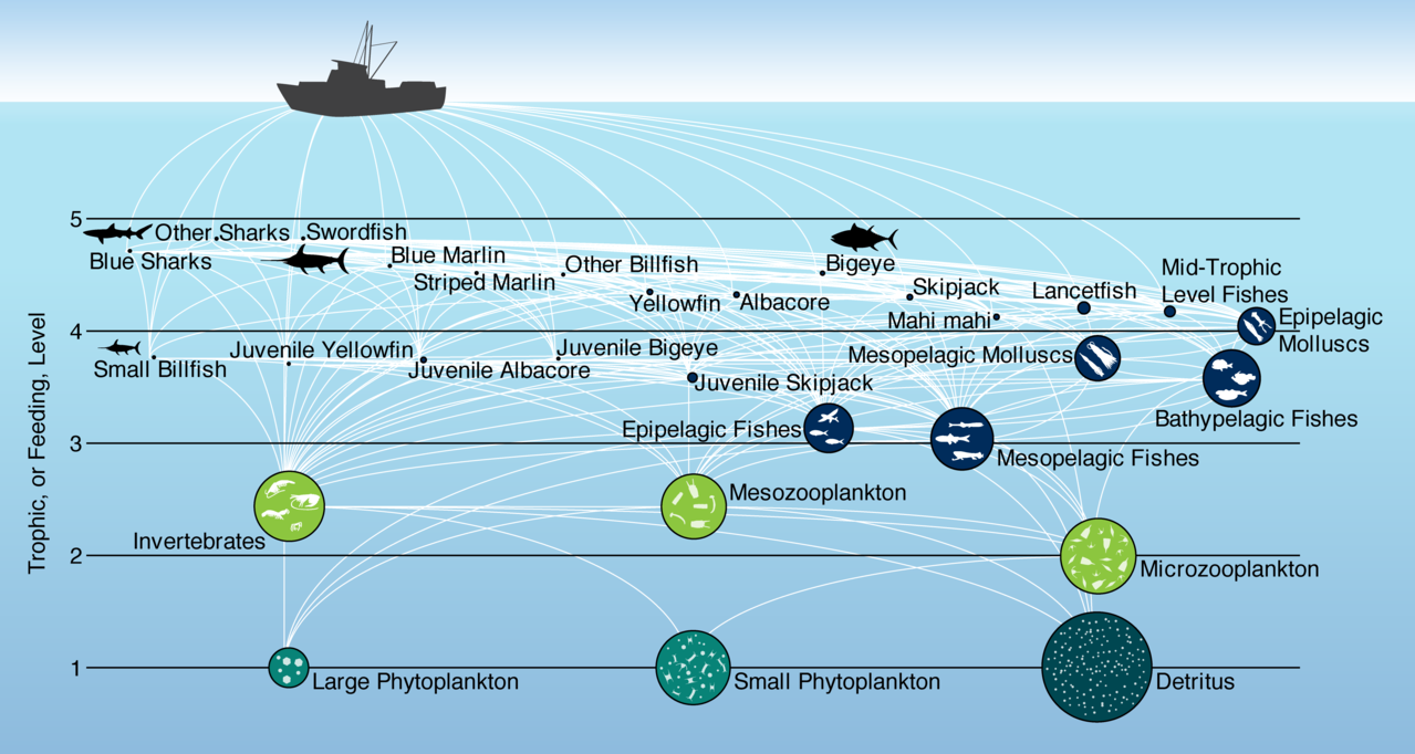 Figure showing how energy moves through the food web from phytoplankton to apex predators